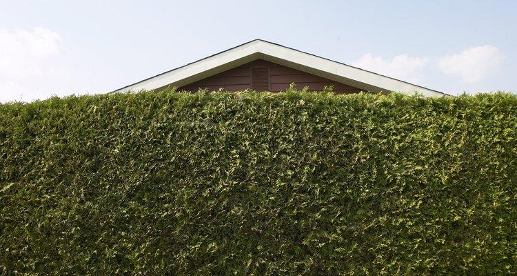 Uma cerca-viva alta pode abafar os ruídos irritantes dos vizinhos