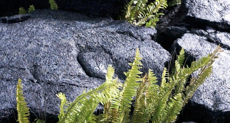 Algumas samambaias são adaptadas a condições de sol forte e pouca umidade