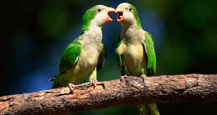 Na natureza, as caturritas constroem ninhos para abrigarem-se durante a noite