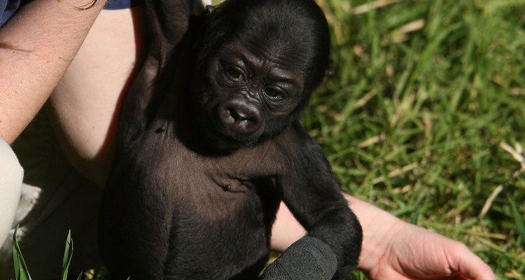 Los bebés monos necesitan cuidado especial.