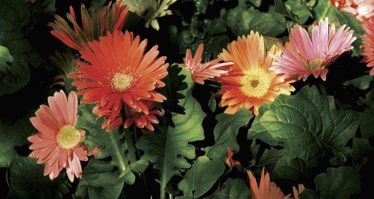 Las gerberas florecen en muchos colores.