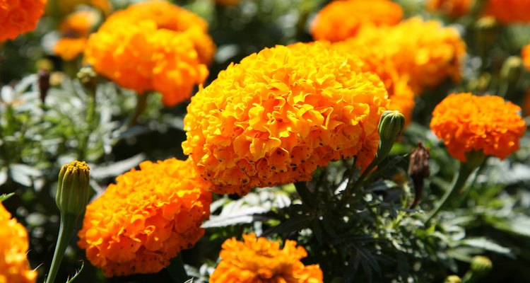 As flores laranjas e amarelas adicionam beleza em qualquer jardim