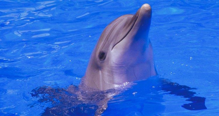 Los delfines son uno de los animales marinos más desarrollados.