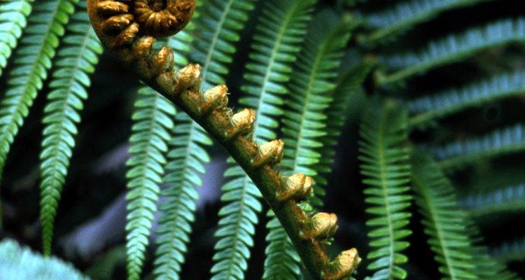Los licopodios y helechos son plantas vasculares con sus distinciones propias.