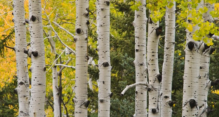 Birch trees are beautiful outdoors and indoors.