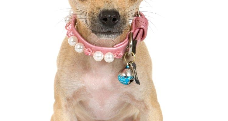 Laços são uma adição bonitinha para a rotina de escovação do Chihuahua