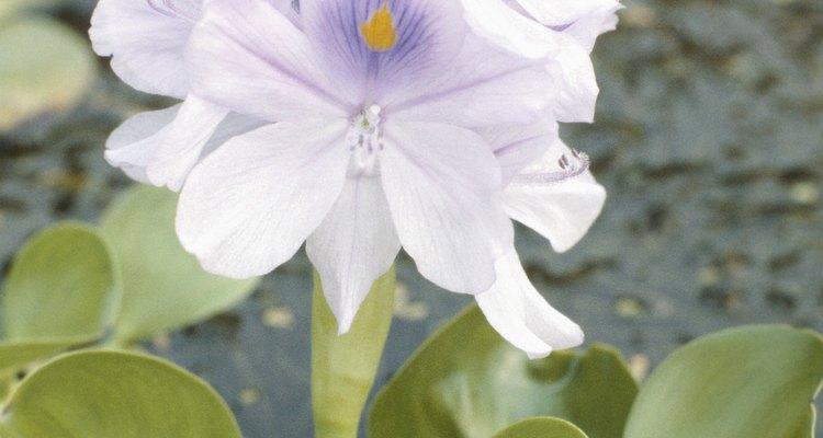 El jacinto acuático puede ser muy invasivo.