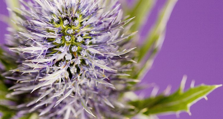 Many thistles were introduced from Europe.