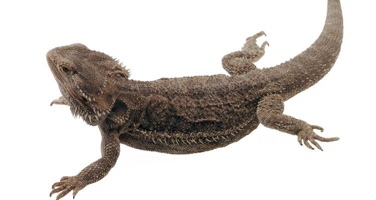 Los órganos reproductivos de los lagartos, como el dragón barbudo, son internos.