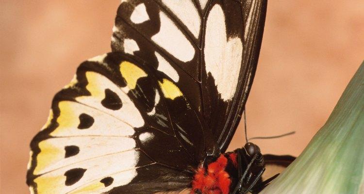 As adultas voam entre junho e agosto, enquanto as larvas aparecem entre julho e outubro