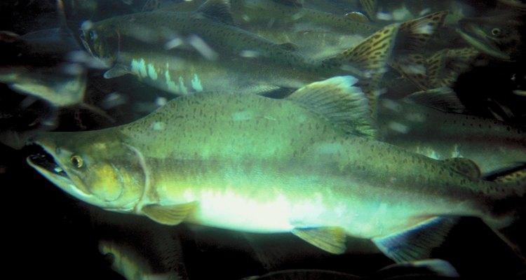 O salmão prefere água mais fria do que a maioria dos peixes
