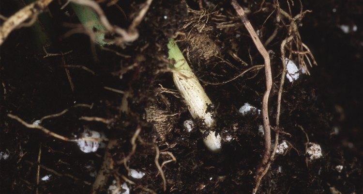 Aplica una solución débil de un fertilizante soluble en agua a las plantas después del trasplante.