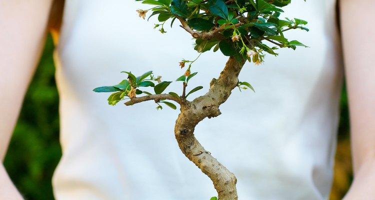 Las raíces de los árboles bonsái deben ser podadas para mantener el crecimiento del árbol al mínimo.