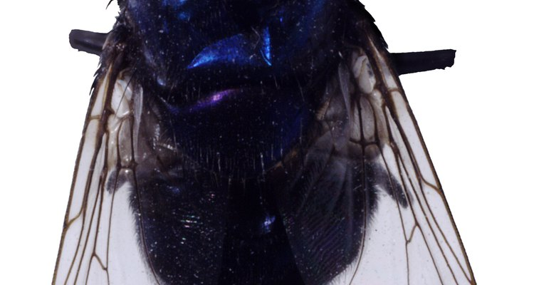 Los moscardones tienen colores metálicos en la espalda.