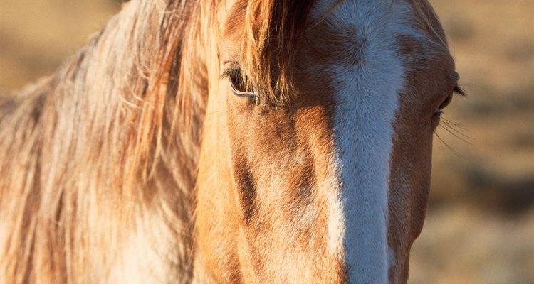 Um cavalo subnutrido é muito sensível ao que come