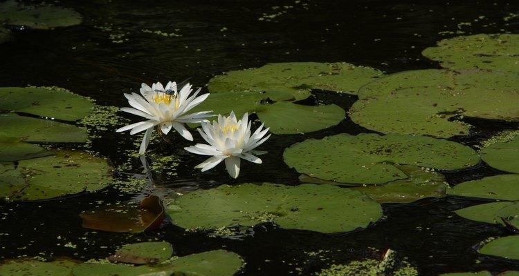 Las plantas flotantes echan raíces bajo el agua pero crecen por encima.