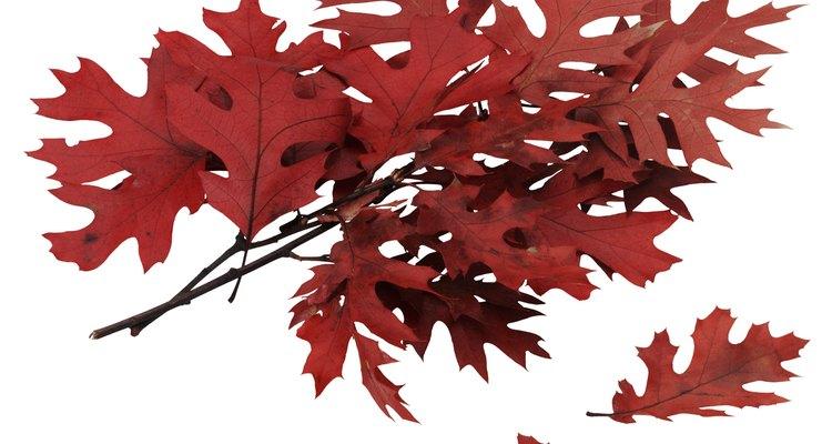 La mayoría de las especies de roble son caducas, dejando caer sus hojas en otoño.