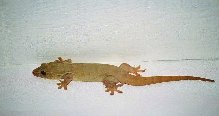 Los geckos son reptiles únicos.