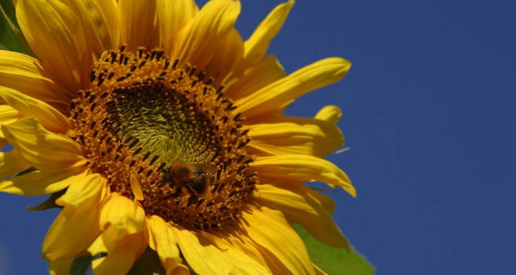 Sunflowers provide both a summer ornamental and edible seeds.