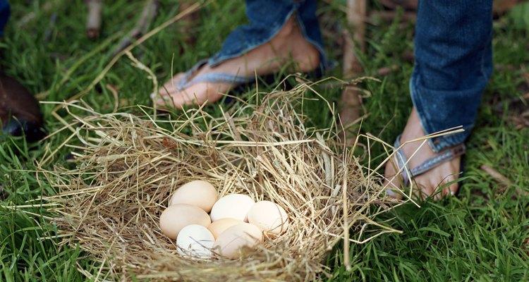 Las Leghorn son ponedoras prolíficas, apreciadas por los productores de huevos comerciales.