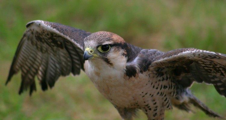 Os gaviões atacam as aves distraídas que estão se alimentando