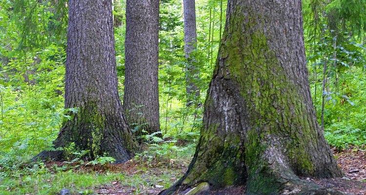 El musgo puede ser encontrado en el bosque y colocado en un terrario.