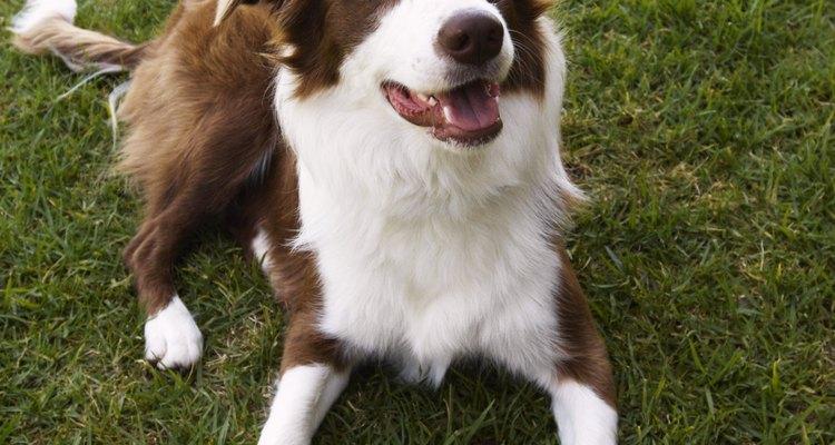 Border collies são uma raça de cães trabalhadores criados para pastorear ovelhas