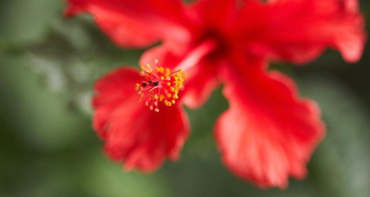 A flor de hibisco é bela e perigosa