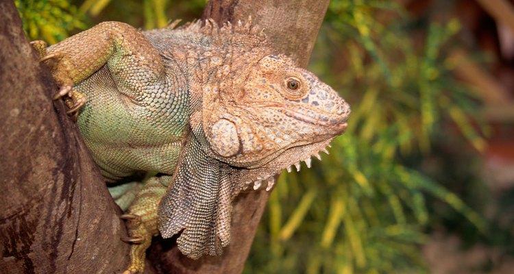 Las iguanas son lagartos que viven en climas tropicales.