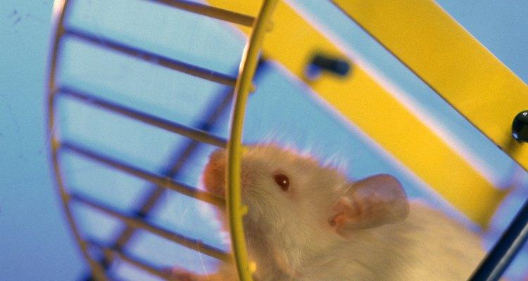 Uma rodinha para hamster oferece infinitas horas de exercício
