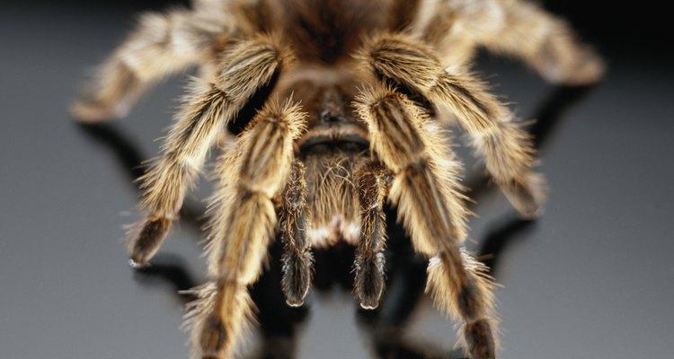 As aranhas são menos perigosas do que parecem