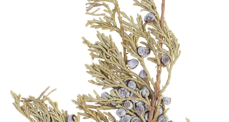 Junipers are related to cedars and, as such, can get some of the same diseases.