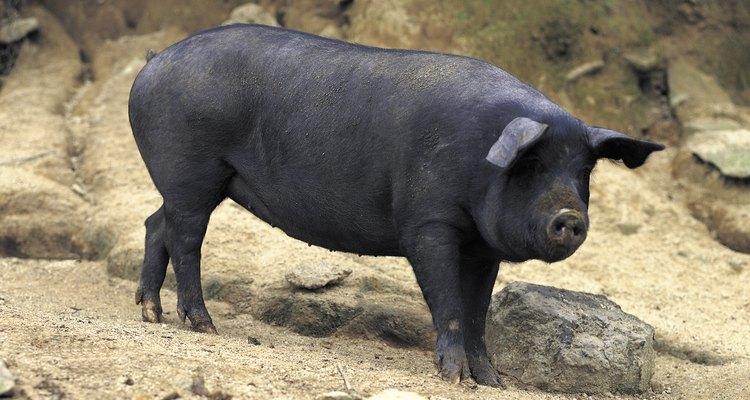 Porcos pretos têm excelentes personalidades