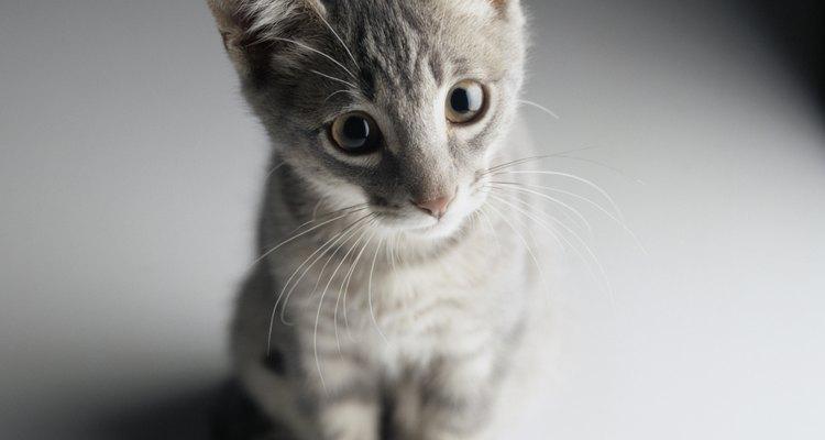 En el momento en que el gatito tenga 12 semanas de edad, debe estar completamente destetado de la fórmula.