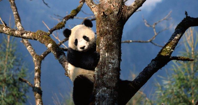 Pandas gigantes são ótimos escaladores