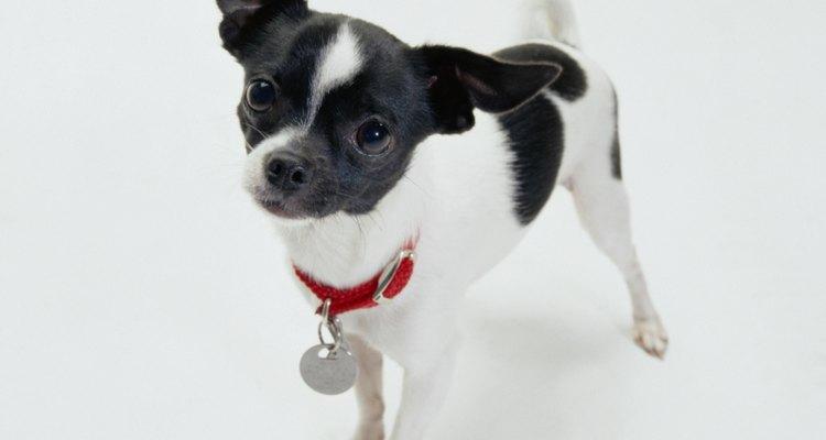 Perro Chihuahua.