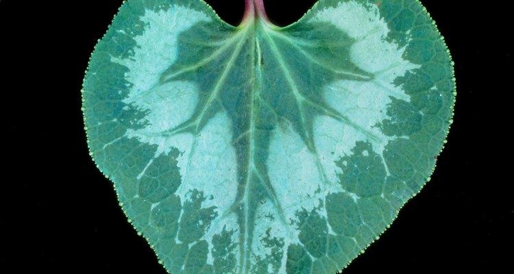 Las hojas de la violeta africana generan nuevas plantas rápida y fácilmente.