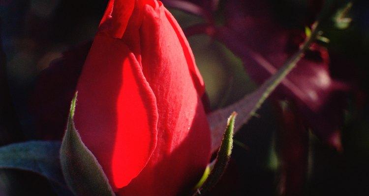 As sépalas protegem o botão de rosa durante o desenvolvimento