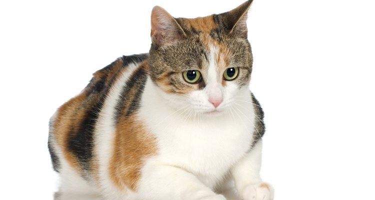 Gatos cálicos apresentam cores manchadas