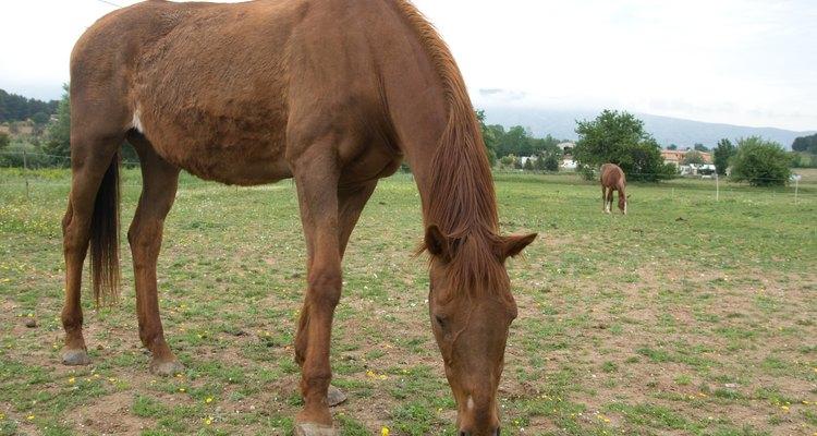 Na fase inicial, um cavalo muito magro deve ter acesso limitado à grama para que não exagere na alimentação