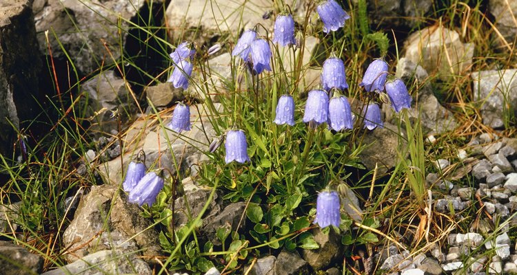 Spanish bluebells are early bloomers that fade in early summer.