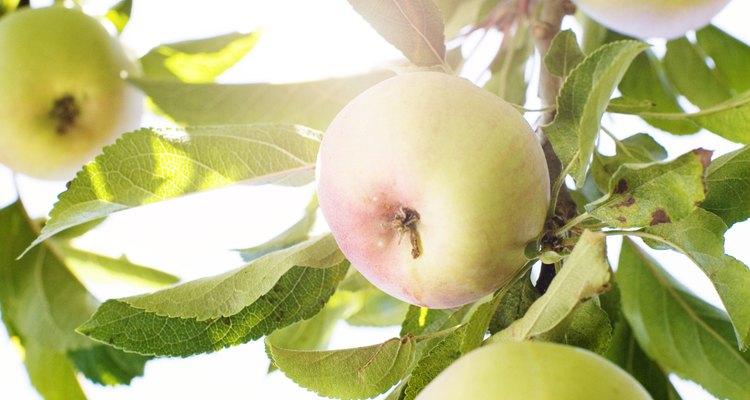 O amarelamento de folhas em macieiras pode indicar um problema.