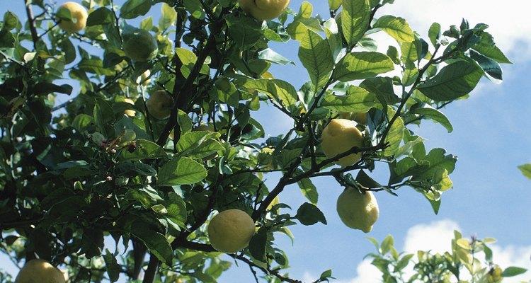Necesitarás regar un árbol de limón en maceta una o dos veces a la semana.