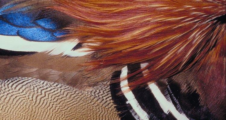 Las plumas del pato son multipropósito.
