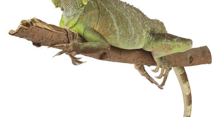 Una iguana debe verse sana.