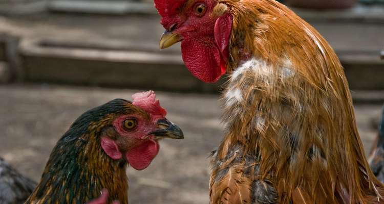 Galos e galinhas se diferenciam pelo tamanho de suas cristas e carúnculas
