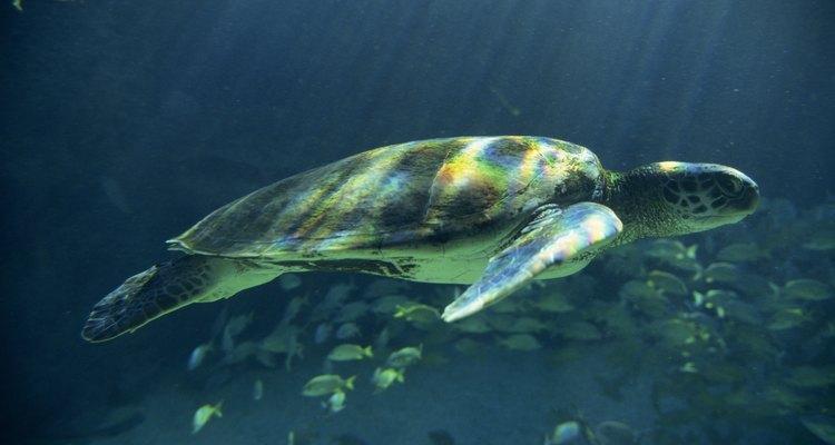 Tartarugas marinhas também se alimentam com caranguejos