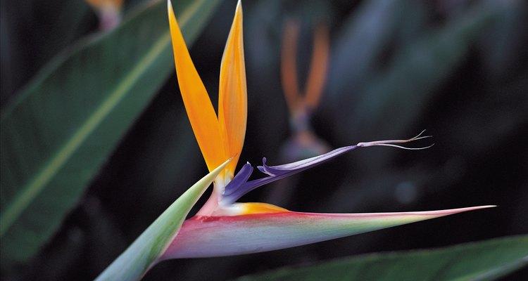 El ave del Paraíso es una flor inusual.