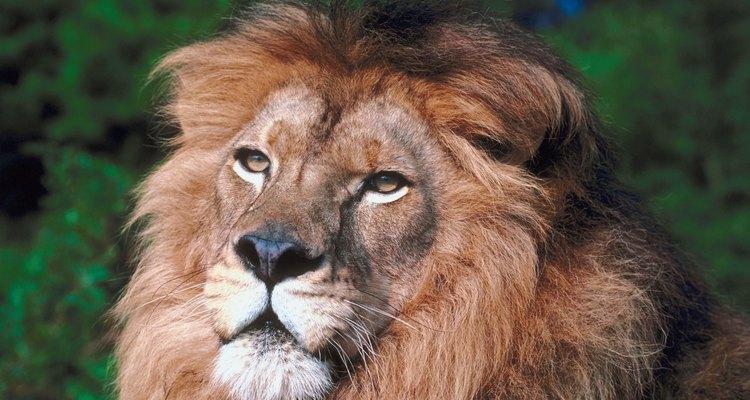 O leão africano é a subespécie de leão mais conhecida
