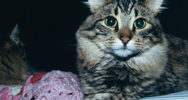 O pelo do gato é talvez um dos mais difíceis de eliminar
